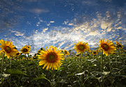 Rustic Scenes Photos - Sunflowers by Debra and Dave Vanderlaan