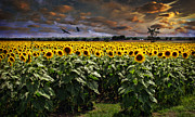 Sunflowers Art - Sunflowers by Deon Grandon