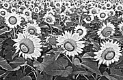 Agronomy Photo Prints - Sunflowers Print by Elena Nosyreva