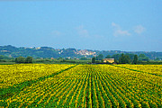 Watercolor Map Photos - Sunflowers Field of Tuscany Italy by Irina Sztukowski