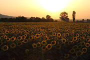 Landscapes Posters - Sunflowers field on Sunset Poster by Kiril Stanchev