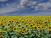 Botanicals Metal Prints - Sunflowers Forever Metal Print by Ernie Echols