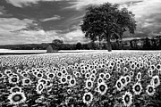 Flowers Sunflowers Barn Prints - Sunflowers in Black and White Print by Debra and Dave Vanderlaan