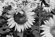 Plant Greeting Cards Prints - Sunflowers In Black And White Print by K Hines