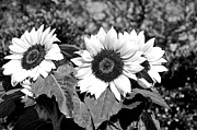 Sunflowers In Black And White Print by Kaye Menner