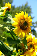 Sunflower Prints Prints - Sunflowers in Swanton Print by John and Veronica Vandenburg