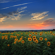Field Of Flowers Posters - Sunflowers in the evening Poster by Bill  Wakeley