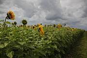 Katie McEnaney - Sunflowers in the Storm