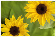 Sunflower Prints Prints - Sunflowers Print by Natalie Kinnear