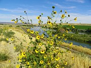 The View Mixed Media Posters - Sunflowers Nestled by the Snake River Poster by Photography Moments - Sandi