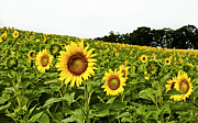 Live Art Framed Prints - Sunflowers on a Hill Framed Print by Christi Kraft
