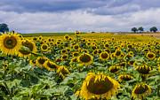 Patricia Hofmeester - Sunflowers