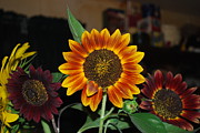 My Back Yard Prints - Sunflowers Print by Robert Floyd