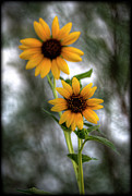 Yellow Flowers Posters - Sunflowers  Poster by Saija  Lehtonen