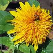 Bees Photos - Sungold Sunflower by Lisa  Phillips