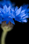 Florets Prints - Sunkissed Cornflower Print by Anne Gilbert
