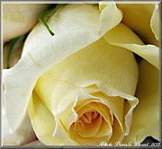 Engagement Digital Art Metal Prints - Sunkissed Yellow Rose Metal Print by Danielle  Parent