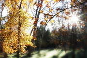 Autumn Foliage Prints - Sunlight in forest Print by Les Cunliffe