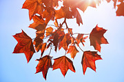Snug Digital Art Prints - Sunlight on Red Leaves Print by Natalie Kinnear