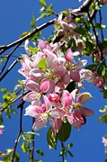 Cherry Blossoms Photo Metal Prints - Sunlight on Spring Blossoms Metal Print by Carol Groenen