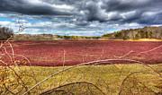 Michelle Wiarda - Sunlight on the Cranberry Bog