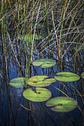 Sunlight On The Lilypads Print by Debra and Dave Vanderlaan