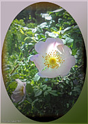 Sunlight On The Wild Pink Rose Print by Patricia Keller