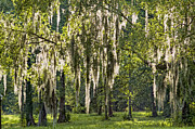 Oaks Framed Prints - Sunlight Streaming through Spanish Moss Framed Print by Bonnie Barry