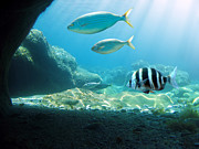 Striped Seabream Posters - Sunlight undersea Poster by Vilainecrevette