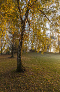 Willow Tree Prints - Sunlight Willow Print by Mike Reid