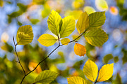 Nature Study Prints - Sunlit Autumn Leaves Print by Natalie Kinnear