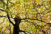 Sunlit Autumn Tree Print by Natalie Kinnear