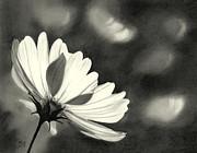 Sunlit Daisy Print by Nicola Butt