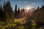 Rainier Prints - Sunlit Flower Meadows Print by Mike Reid