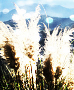 Christine Krainock Prints Framed Prints - Sunlit Grasses at Sunrise Framed Print by Christine Krainock