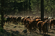 Heifers Posters - Sunlit Heifers Poster by David W Schafer