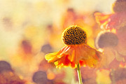 Photographic Print Prints - Sunlit Helenium Flowers with Texture Effect Print by Natalie Kinnear