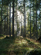 Forest Floor Photos - Sunlit Larchwood by Phil Banks