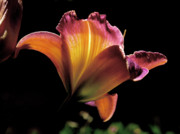 Orange Metal Prints - Sunlit Lily Metal Print by Rona Black