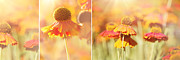 Kitchen Decor Photographs Prints - Sunlit Orange Helenium Flowers Triptych Print by Natalie Kinnear