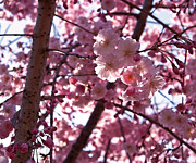 Color Metal Prints - Sunlit Pink Blossoms Metal Print by Rona Black