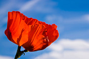 Red Sky Metal Prints - Sunlit Poppy Metal Print by Adam Romanowicz