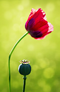 Nature Study Prints - Sunlit Poppy Print by Natalie Kinnear