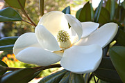White Magnolias Posters - Sunlit Southern Magnolia Poster by Carol Groenen