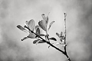 Photographic Art Metal Prints - Sunlit Sprig of Leaves in Black and White Metal Print by Natalie Kinnear