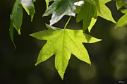 Dappled Light Photos - Sunlit Sweetgum by Maria Urso