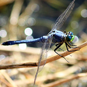 Flying Insect Prints - Sunning Blue Dragonfly Square Print by Carol Groenen