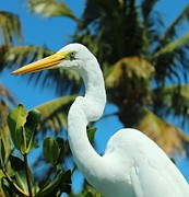 Snowy Night Art - Sunning Great Egret by Rene Triay Photography
