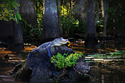 Alligator Bayou Photos - Sunning in the Louisiana Swamp by Mountain Dreams