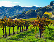 California Art - Sunny Autumn Vineyards by CML Brown